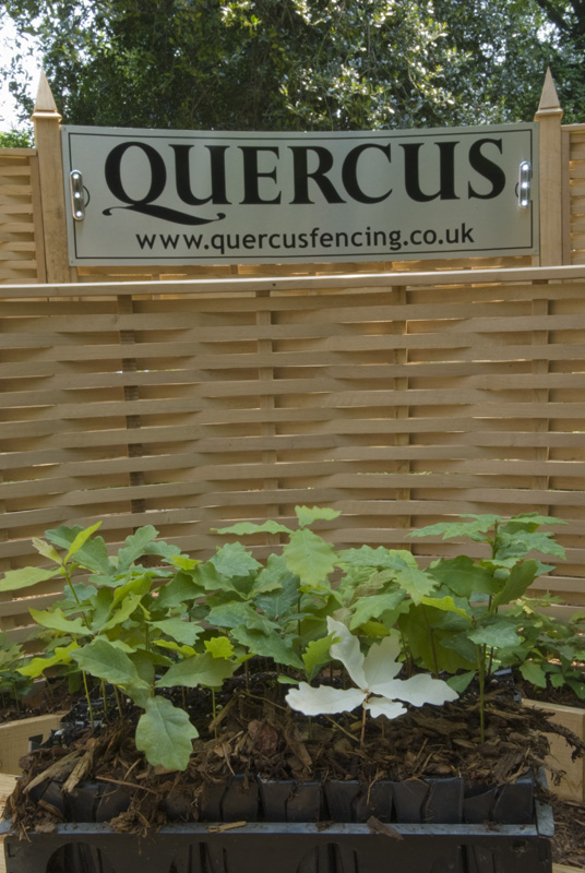 Rare white Quercus (Oak) seedling found at Quercus UK Ltd
